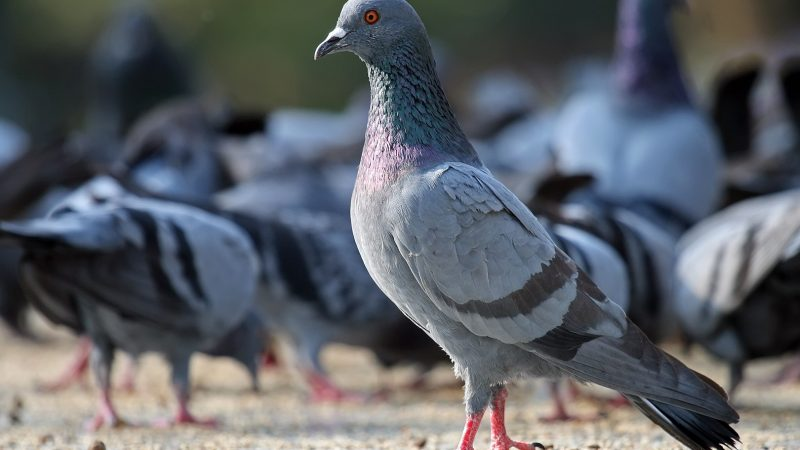 Feral pigeon_Columbia livia domestica_control_California structural pest control